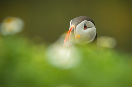Portrait of an Atlantic Puffin standing in a mass of Sea Campion on The Wick, Skomer Island, Pembrokeshire.