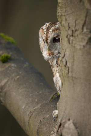 woken: A Tawney Owl roosting on the branch of a beech tree close to the main trunk.  The owl has woken up and it gazes at the the ground beneath its perch. Stock Photo