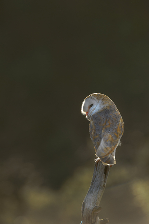 A mature Barn Owl perched on a tree stump and backlit by the early morning sunlight.