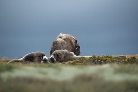 폭풍우가 내린 하늘은 황소에게 배경을 이룹니다. 그의 하렘에있는 두 명의 암컷을 돌보는 황소 서 시계는 다른 황소를 멀리 쫓아 낼 준비가되어 있습 스톡 콘텐츠