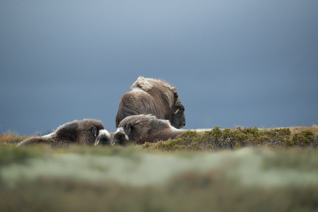 Stormy skies form a backdrop to a bull Musk Ox standing watch over two females in his harem, ready to chase away any other bull that he may consider a threat to his dominance.