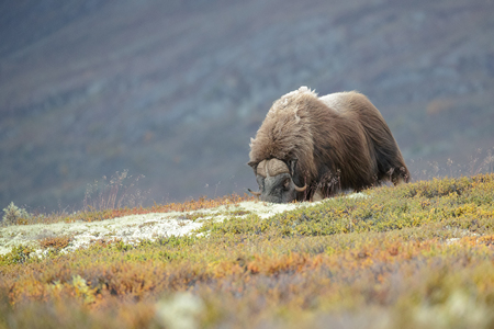 A solitary bull Musk Ox grazing in the Dovrefjell National Park in Norway.