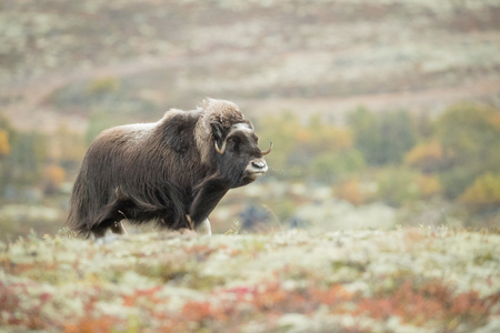 A lone female Musk Ox snorts her displeasure at the presence of the photographer.  She wants to rejoin the herd but the camera is in her way, so she blows mucus out of nose as a sign of annoyance.