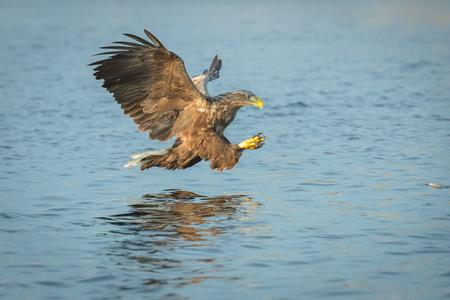 노르웨이 흰 꼬리 독수리는 노르웨이 해안선에서 물에서 먹이를 공격. 스톡 콘텐츠