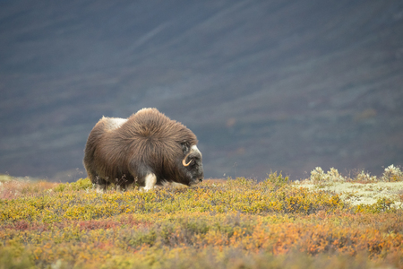 A solitary female Musk Ox grazes amongst the lichens and rare alpine plants of Norways famous Dovrefjell National Park.