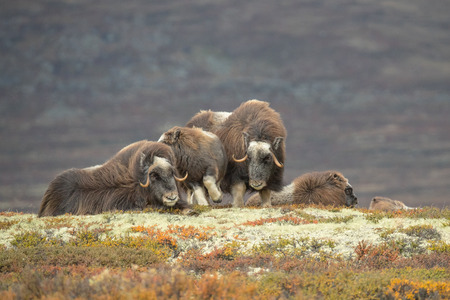 Mature Female Musk Ox, one nudges a baby out of her way, and a couple of sub adults lying down in the background.