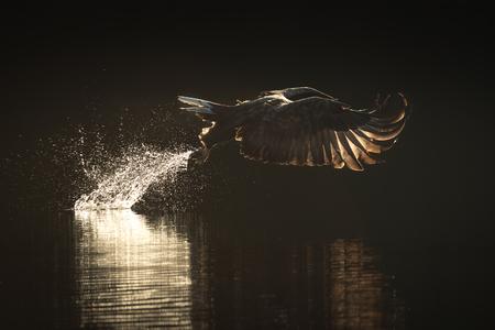 일출 노르웨이어 피요르드의 어두운 바다에서 물고기를 따 버린 사냥 바다 독수리의 백라이트 이미지. 스톡 콘텐츠