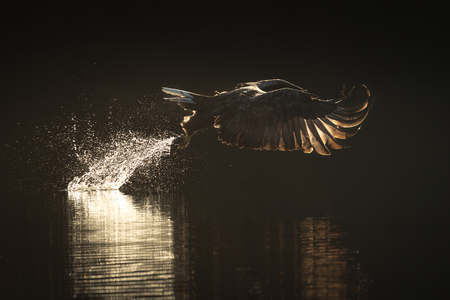 A backlit image of a hunting sea eagle plucking a fish from the dark waters of a Norwegian fjord at sunrise.
