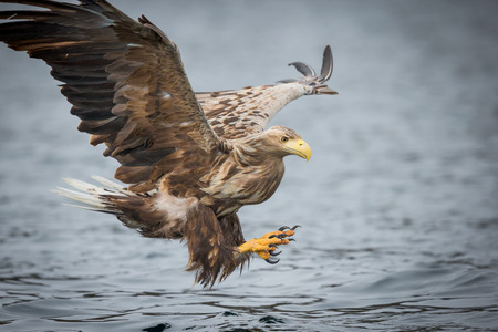 A male White-tailed Eagle in flight, gliding in to attack a prey fish from a cold Norwegian fjord in winter.