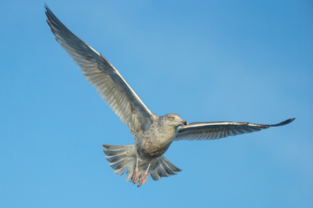 A juvenile, or sub adult,Herring Gull in flight against a cloudless blue sky. Standard-Bild