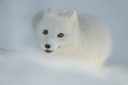 A close up of the face of an Arctic Fox in winter, showing their typical deep chestnut brown eyes.
