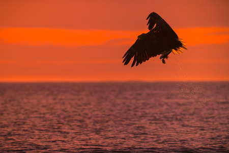 A hunting Norwegian Sea Eagle in silouhette against the setting sun, with trails of water droplets trailing behind it from a successful catch. Imagens