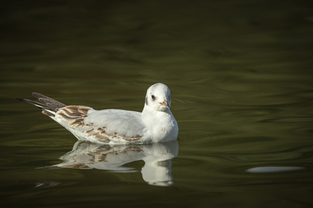 A non breeding adult Black Headed Gull floats quietly on the waters of a mere in Cheshire.