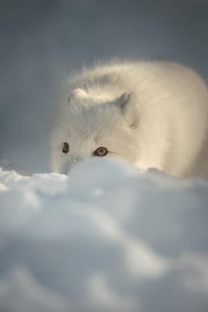 겨울 코트에있는 북극 여우는 눈이 내리 쬐는 곳의 꼭대기에 있습니다. 그 눈은 그 목표에 집중했다.