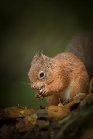 이 붉은 다람쥐는 두 마리의 개암 나무 열매를 입에 넣고 나무 기저에있는 잎 깔짚 아래에 그들을 숨기려고합니다.