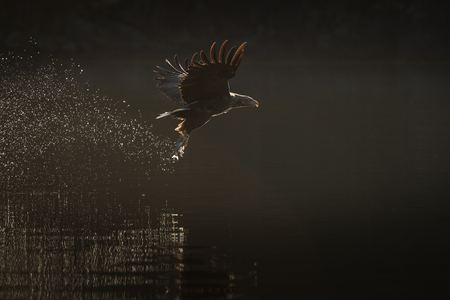 A White tailed Sea Eagle catches its prey as the rays of the early morning sun add stunning backlighting to the scene.