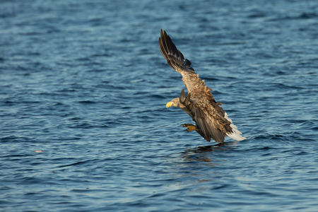 A Norwegian White tailed Eagle attacking its prey, its tail feathers just touching the surface of the frigid waters of the Norwegian Sea. Imagens
