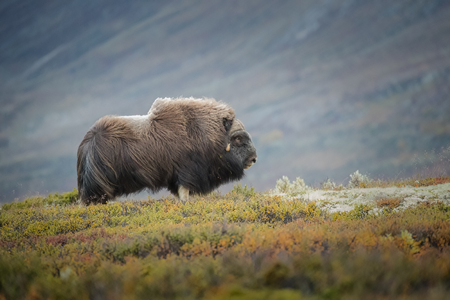 A solitary bull Musk Ox stands watch over his harem of females under the gloomy light of late afternoon in the Dovrefjell National Park in Norway.