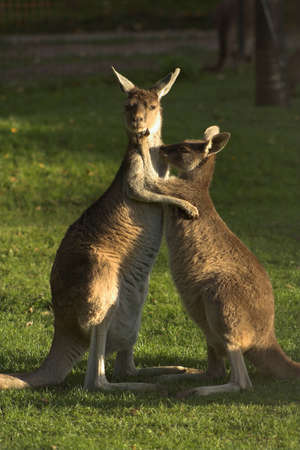 Two kangaroos hugging