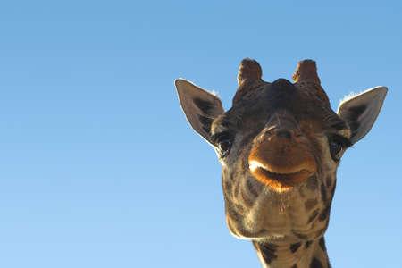 Giraffe with copy space photo