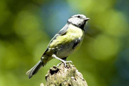 A blue tit sat on a branch