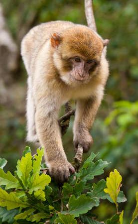 barbary: Portrait of a Barbary Macaque monkey