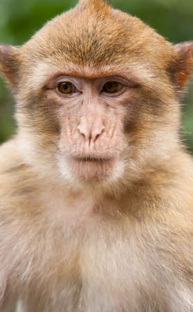 barbary ape: Portrait of a Barbary Macaque monkey
