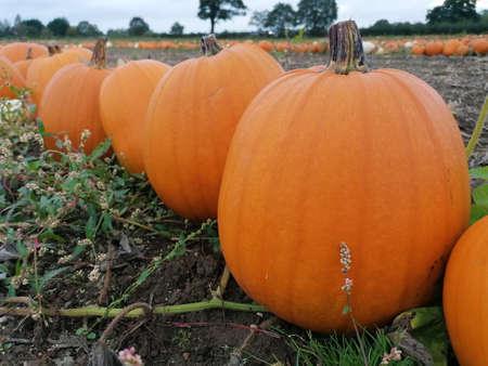 Big orange pumpkin growing in a field in norfolk uk ready for halloween