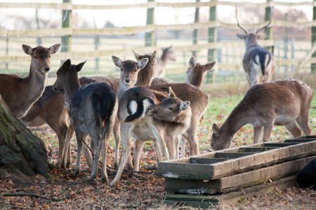 whilst: young deer sniffing its botton whilst others are feeding Stock Photo