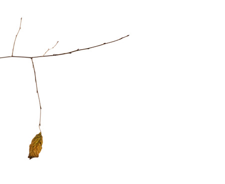 weighs: dry autumn leaf of a tree weighs a bare branch on a white background