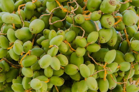 colorful green dates on the palm tree