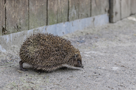 hedgehog running on asphalt. animal hedgehog on the pavement 写真素材