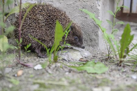 European hedgehog carefully walking in the garden beside a house