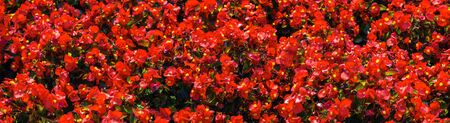 seamless pattern flowers background. Annuals red flowers background autumn card. Panoramic image