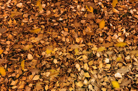many orange leaves on the ground. autumn background of leaves
