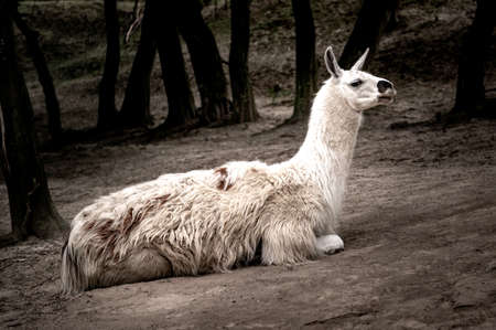 White llama lying on the ground. Cute white alpaca, resting on the ground. Lama living in captivity in a zoo. View of the lying llama 免版税图像
