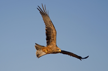 buzzard: Bird of Pray against blue sky