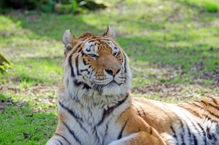amur: Siberian Amur tiger