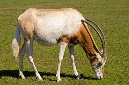 scimitar:  scimitar horned oryx grazing Stock Photo