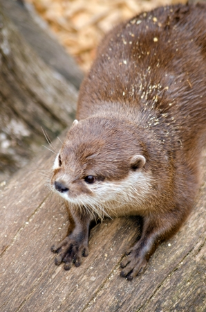 clawed: Asian Short Clawed Otter Stock Photo