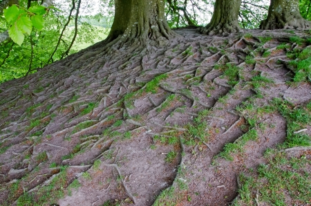 Tree roots, England photo