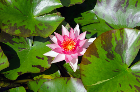 nymphaea: A beautiful light pink waterlily or lotus flower