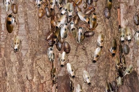 madagascar hissing cockroach: Cockroaches on tree bark