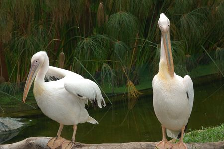 Two White and Beauty Pelican Birds photo