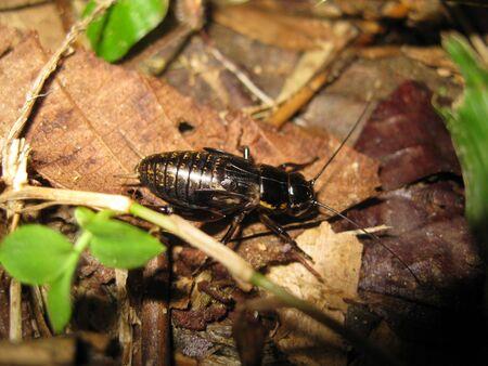 Little Black Cricket in Macro