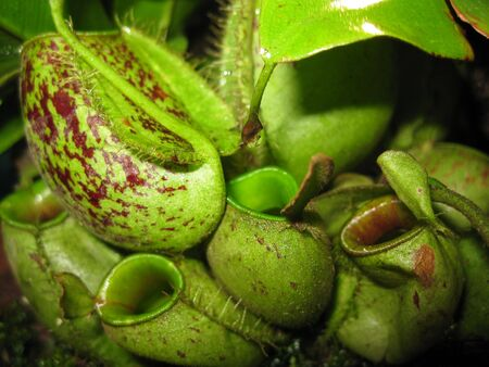 carnivorous: carnivorous plants Stock Photo