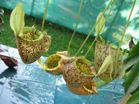 insectivorous plants: carnivorous plants Stock Photo