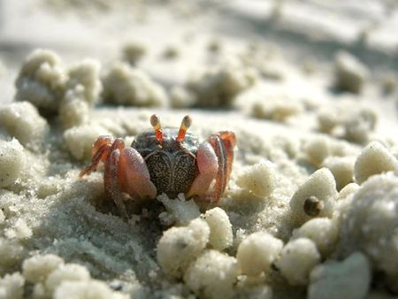 marinelife: Small Little Crab on the beach
