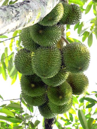 Durians on the Tree Stock Photo - 5246716