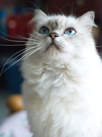 Home Pet, Cute White Cat